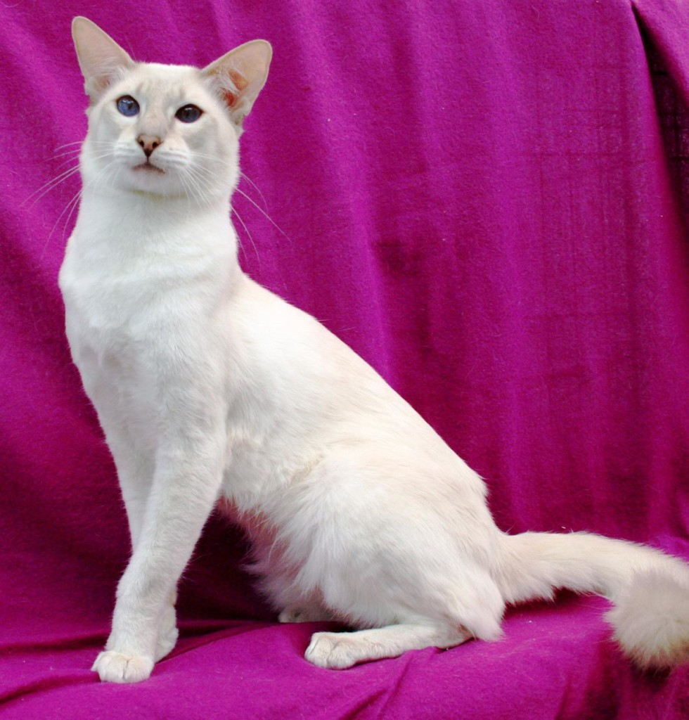 Balinese cat picture