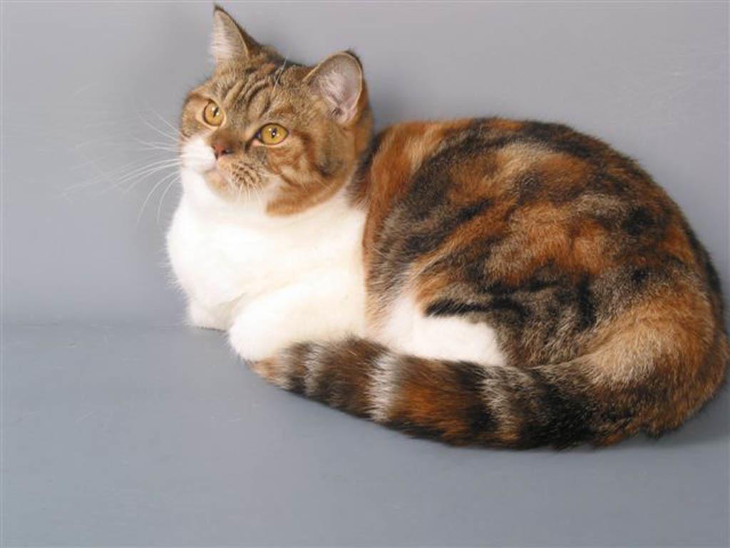 зайцем, черепаховый окрас кошки фото многих людей кажется