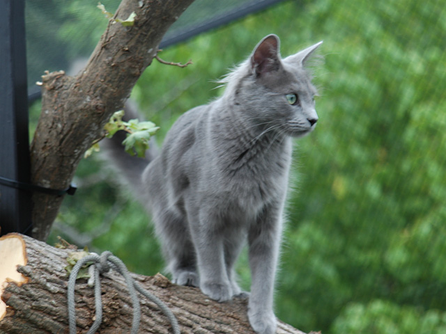Nibelung cat breed