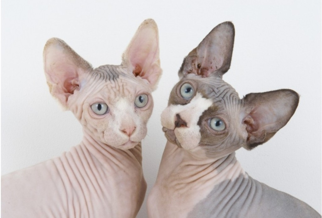 Hairless cats