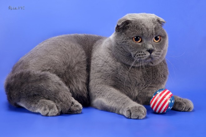 Scottish Fold